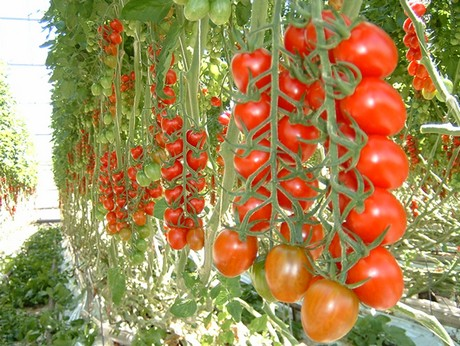 business plan for tomato paste production