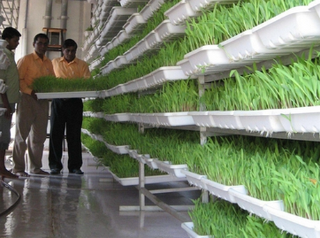 India Greenhouse Fodder In 7 Days Brings Cheer To Farmers