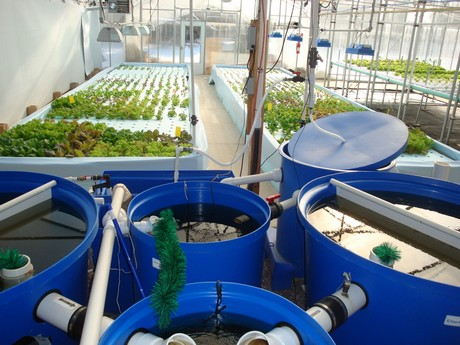 Us year round production at aquaponic farm in indiana for Indiana fish farms