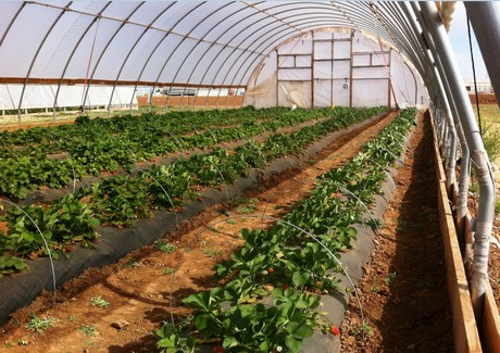 Strawberries Grown Under A High Tunnel Can Be Productive Well After Frost On The Texas Plains Near Lubbock M Agrilife Extension Service