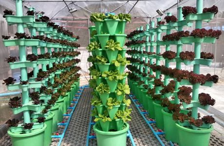 Thailand Vertical Growing System Triples Harvest