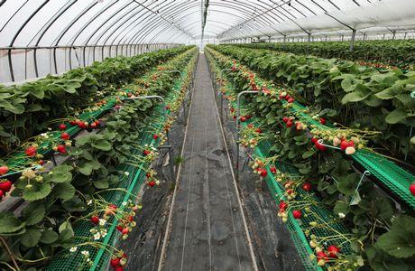 Leading strawberry producing U.S. states 2017