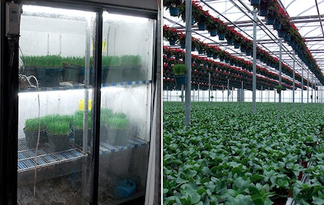 Common banker plants in insect biological control systems