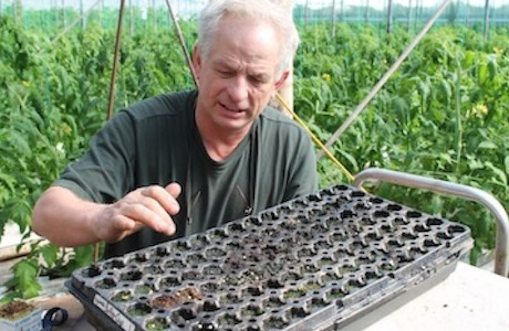 how to grow ginseng in a greenhouse