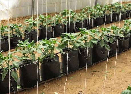 Simple soilless cultivation for Soil less farming