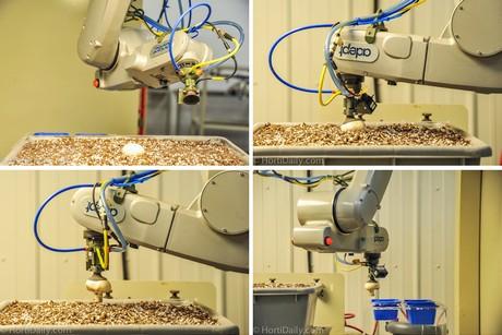 Hortidaily Com Canada Automated Mushroom Harvester Can