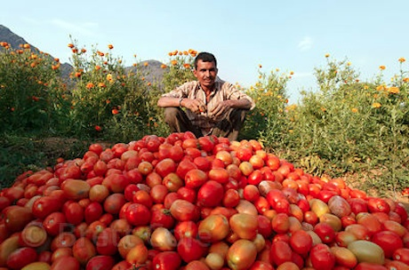 open field tomato farming in kenya How to make money with tomato farming in kenya greenhouse tomato farming tips to boost yields, profit of tomato varieties in kenya such as anna f1 tomato.