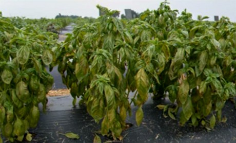 Susceptibility of basil species and cultivars to ...