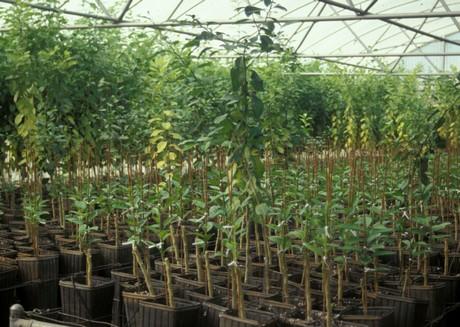 Honduras built second greenhouse to propagate HLB free ...