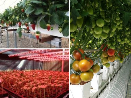 Students will learn energy and mass balance of leaves canopy and greenhouse systems and correlate these phenomena ... : tomato canopy - memphite.com