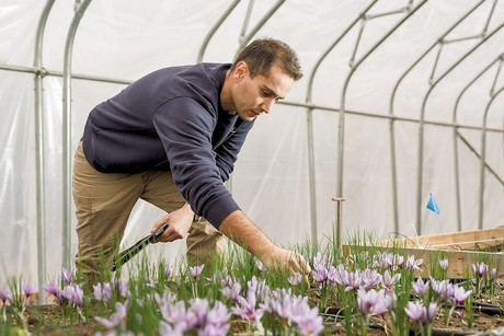 Saffron growers look to get a foothold in the US