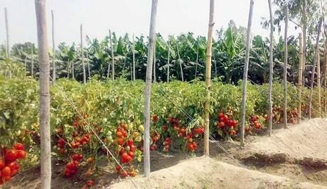 Bangladesh: Price fall worries tomato farmers