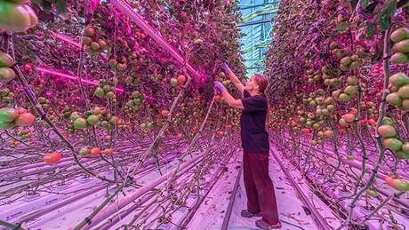 Sigg first installed a double row of LED interlighting in one climate zone (approximately 1500 m2) in the greenhouse. After a very successful year ... & Finland: 100% LED pays off for Martin Sigg