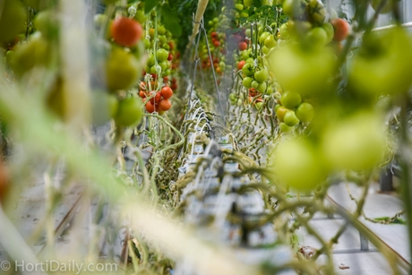 US: Marijuana growers transition to greenhouse tomatoes