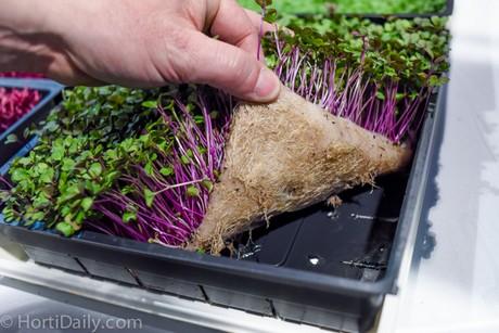 Выращивание микрозелень 83