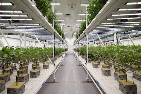 Fluence illuminates las vegas 39 new cannabis vertical farm - Commercial grow room design plans ...