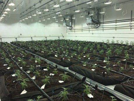 Maximize cannabis production with the right environmental