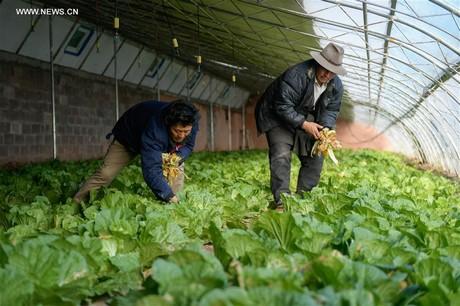 Villagers Clean A Vegetable Greenhouse In Xiemai Village Of Dengqen County  In Qamdo, Southwest Chinau0027s Tibet Autonomous Region, Nov. 4, 2017.