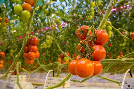 New Zealand: Cocktail tomato grower upgrades to LED lighting