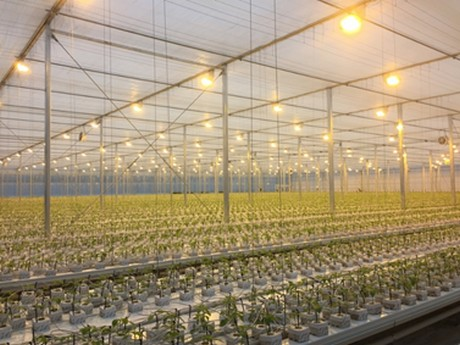 A paprika greenhouse lit by blv high pressure sodium lamps