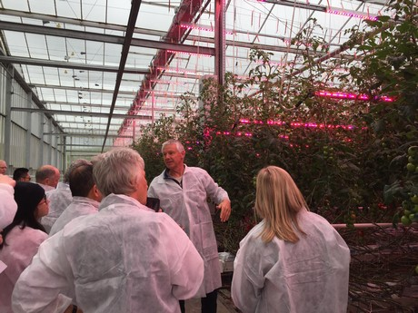 New Zealand: Tomato grower increases winter production with LED
