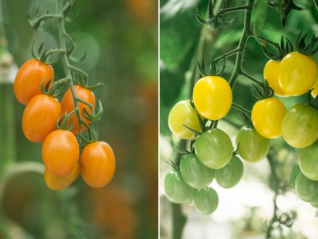 Which is which: Cherry vs. grape tomatoes
